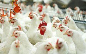 Китай відкриє свій ринок для української курятини