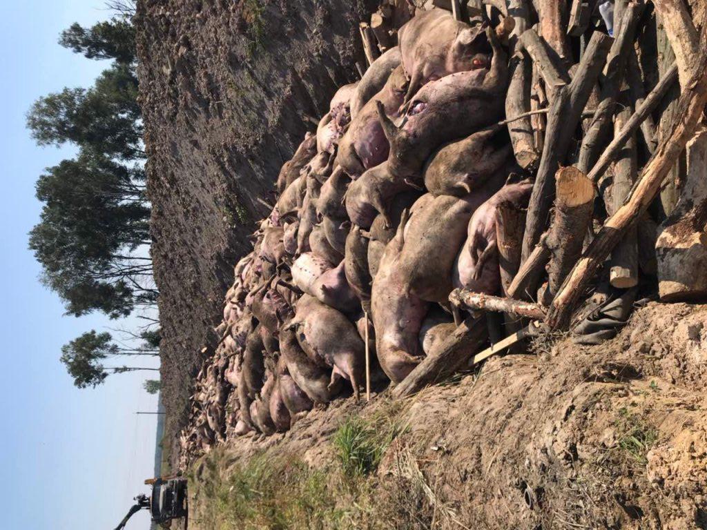 Датський інвестор, який «погорів» на африканській чумі свиней може заробити…